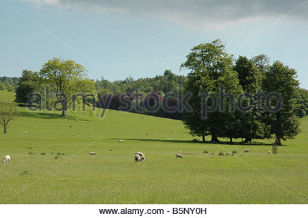 Sheep grazing on West Sussex Downland - Stock Image