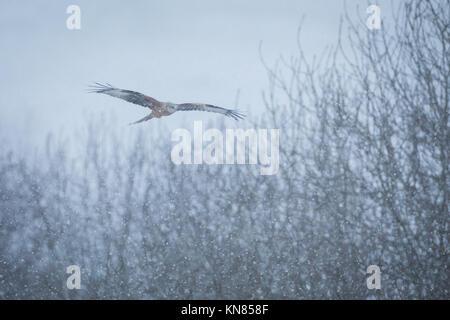 Red Kite (Milvus milvus) flying through snowfall. Rhayader, Wales, UK - December - Stock Image