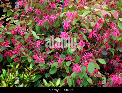 Loropetalum chinensis rubrum 'Blush' close up of flower - Stock Image