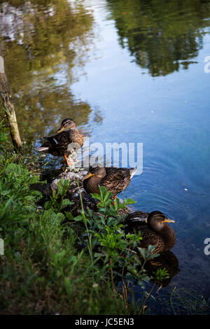 Group of Mallard ducks (Anas platyrhynchos) relaxing on the shore of a river - Stock Image