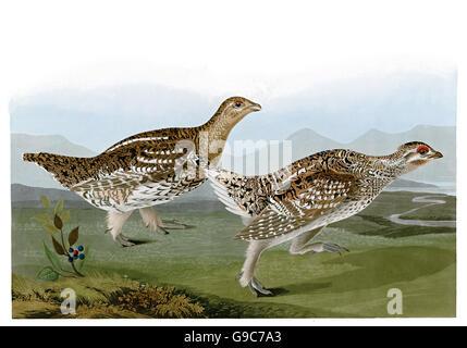 Sharp-tailed Grouse, Tympanuchus phasianellus, birds, 1827 - 1838 - Stock Image