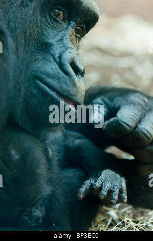 Gorilla mother holding her baby - Stock Image