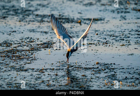 White-cheeked Tern fishing in Danube Delta, Romania. Tern in flight at sunrise - Stock Image