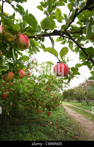 Tewin Orchard - Stock Image