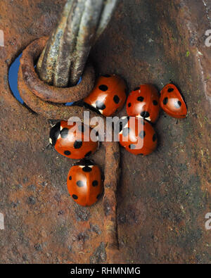 Group of 7-spot Ladybirds (Coccinella septempunctata) huddled together on steel fencepost in winter. Tipperary, Ireland - Stock Image