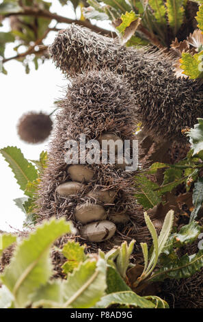 Banksia aemula cones. The tree is also commonly called Wallum banksia. - Stock Image