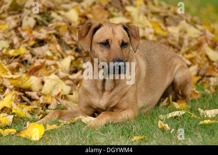 Mixed-breed Rhodesian Ridgeback lying in front of a pile of leaves - Stock Image