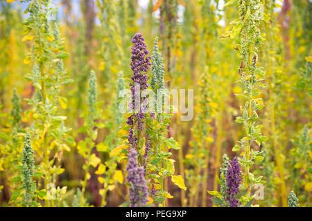 Flowering quinoa in Ecuador - Stock Image