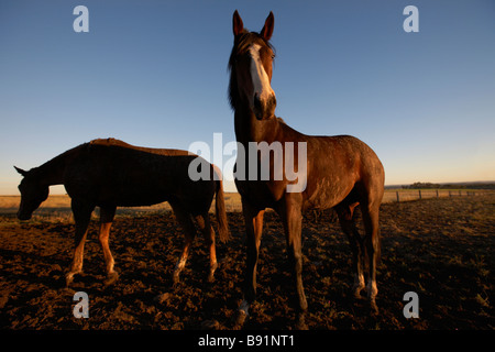 Horses in a paddock - Stock Image
