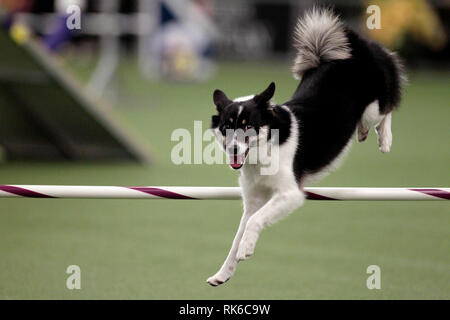 New York, USA. 09th Feb, 2019. Westminster Dog Show - Loa, an Icelandic Sheepdog, competing in the preliminaries of the Westminster Kennel Club's Master's Agility Championship. Credit: Adam Stoltman/Alamy Live News - Stock Image