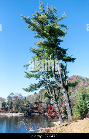 Conifer tree along the shore of Lake Glenville near Cashiers, North Carolina on an autumn afternoon. - Stock Image