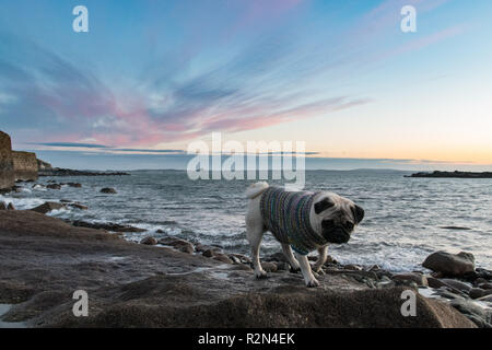 Mousehole, Cornwall, UK. 20th Nov, 2018. UK Weather. It was bitterly cold in the easterly wind on the coast at Mousehole this morning. Titan the pug pup was out in his hand knitted jumper for his early morning walk at sunrise. Credit: Simon Maycock/Alamy Live News - Stock Image