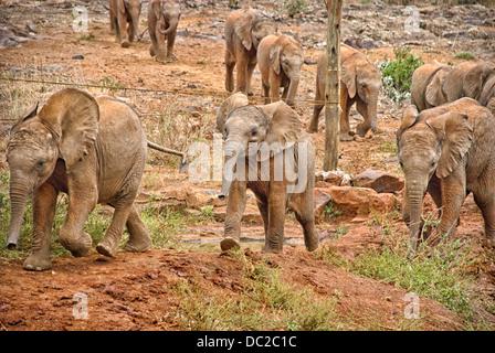 Rescued orphan Elephant Calves coming to meet the public at the Sheldrick Elephant Orphanage, Nairobi, Kenya, Africa - Stock Image