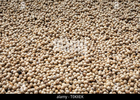 many asian white peppercorns drying in the sun background image - Stock Image