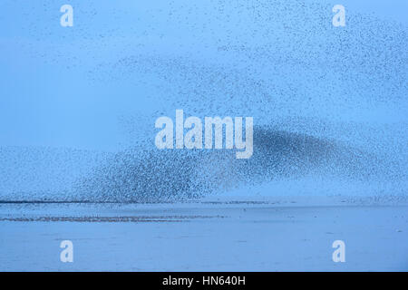 Large flock of red knot (Calidris canutus) in pre-roost gathering on the Wash estuary. Snettisham RSPB reserve, - Stock Image