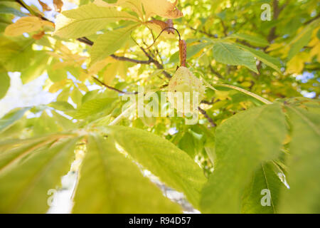 chestnut in beautiful vibrant colorful tree with leaves color green and yellow - Stock Image
