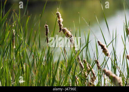 Reeds by the lake, Osterley Park, Isleworth, Middlesex, England