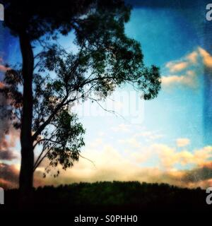 Eucalyptus tree at sunset in Canberra Australia - Stock Image