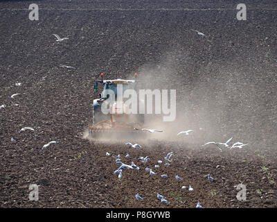 Crosby Ravensworth, Cumbria, England, UK. 11th July, 2018. Dust and gulls rise as Tractor ploughs up drought-stricken Cumbrian crop field ravaged by The Beast from the East, storms Desmond and Hector and now the heatwave Credit: Steve Holroyd/Alamy Live News - Stock Image
