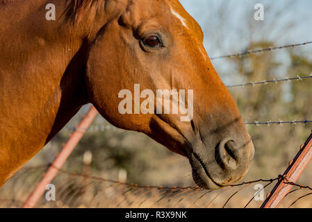 USA, California, Parkfield, V6 Ranch horse head of a brown horse - Stock Image