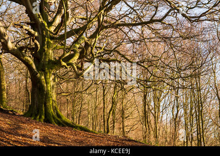 A large mature beech tree (Fagus sylvatica) in winter, bare of leaves and with moss coating its roots and trunk, - Stock Image