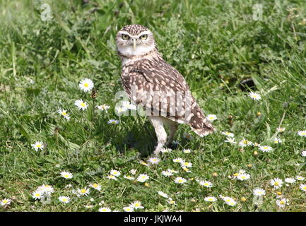 New World Burrowing owl (Athene cunicularia) walking in the grass in summer. - Stock Image