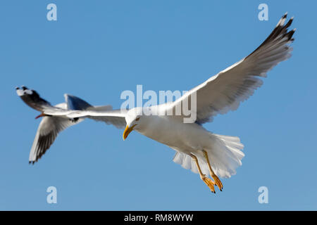 Two sea gulls on flight are looking for food. The flight of a lonely seagull or a group of seagulls can be easily observed in the sky above the Baltic - Stock Image