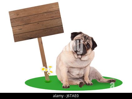 sweet cute pug puppy dog sitting down next to blank wooden board sign on pole, isolated on white background - Stock Image