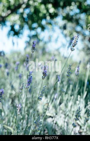 Flowering lavender - Stock Image