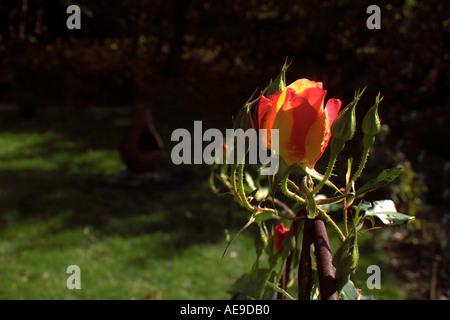 Rose in Vermont garden - Stock Image