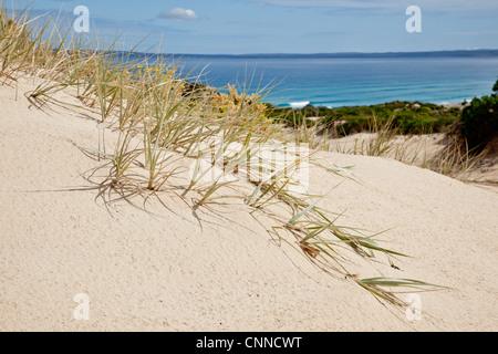 Dune grass Eyre Peninsula South Australia - Stock Image
