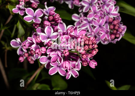 Colour photograph of bunch of Lilac flowers and buds (Syringa vulgaris) with dark background. - Stock Image