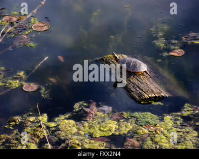 Pleasantville, NY 18 April 2016. A painted turtle (Chrysemys picta) suns itself on a log in Swan Lake. Unusually - Stock Image