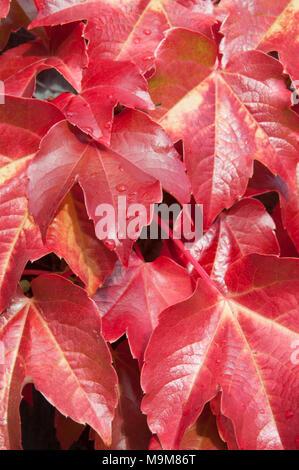 Autumn colour on Virginia creeper (Parthenocissus quinquefolia) leaves, Hobart, Tasmania, Australia - Stock Image