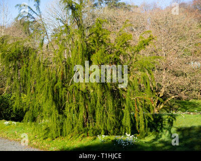 Drooping branches of the tender to half hardy Tasmanian Huon or Macquarie pine, Lagarostrobos franklinii - Stock Image
