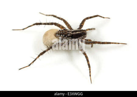 Female Pin-stripe wolf-spider (Pardosa monticola), part of the family Lycosidae - Wolf spiders. Carrying an egg - Stock Image