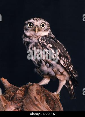 Little Owl, Athene noctua - Stock Image