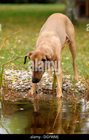 Mixed-breed Rhodesian Ridgeback standing at a pond and looking into the water - Stock Image