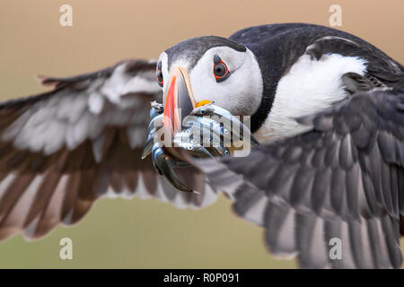 Close-up of an Atlantic Puffin (Fratercula arctica) in flight, bringing a haul of Sand Eels back to its burrow on the island of Skomer, Wales - Stock Image