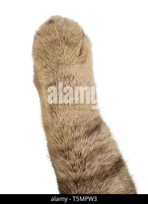 Fat cat paw isolated on white background - Stock Image