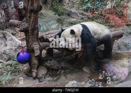 Giant Panda bear in Beijing, capital city of China - Stock Image