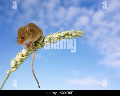 Harvest mouse micromys minutus on corn stalk - Stock Image