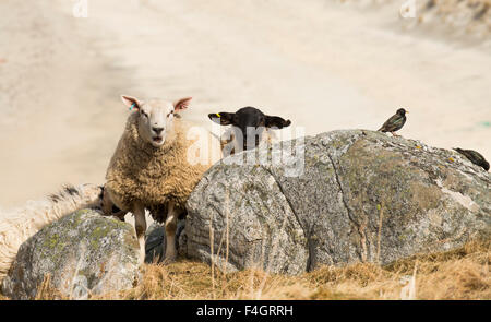 Sheep on a hill overlooking a beach on the Isle of Harris - Stock Image