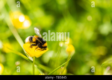 Creative focus macro photograph of Buff tailed bumblebee feeding on Buttercup flower side-on. - Stock Image