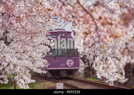 Local purple train going through a tunnel formed by branches of  cherry blossom trees in bloom. Flying petals making look like a storm - Stock Image