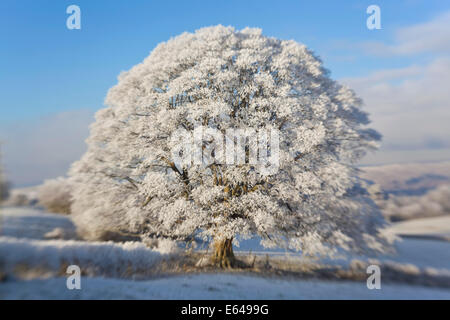 Frosted snow covering trees, nr Dursley, Cotswolds, Gloucestershire, UK - Stock Image