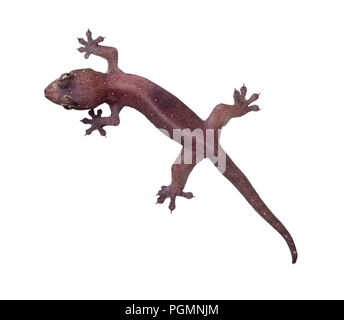 Common house gecko isolated on white background - Stock Image