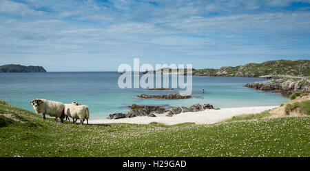 Sheep on the Machair at Bostadh Beach, Isle of Lewis, Outer Hebrides, Scotland - Stock Image