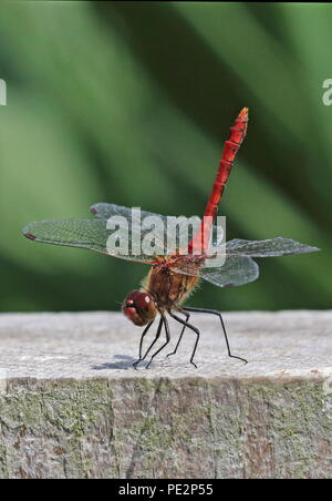 Ruddy Darter (Sympetrum sanguineum) adult male at rest on post  Eccles-on-Sea, Norfolk, UK                    August - Stock Image