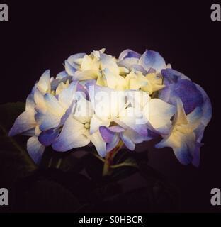 Blue Hydrangea on Black Background. - Stock Image
